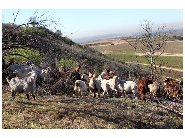 Olinda Goats